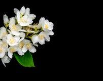 Jasmine flowers on a black. Jasmine flowers isolated on a black background stock photo