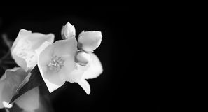 Jasmine flowers black white photo. Macro view blooming plant on dark background, soft focus, shallow depth of field copy Royalty Free Stock Photo