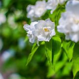 Jasmine flowers blossoming on bush in sunny day Stock Photography