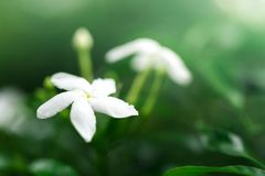 Jasmine flowers blossoming on bush in sunny day soft focus.  Stock Photo