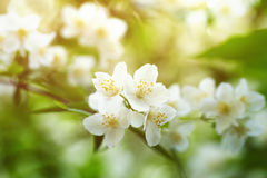 Jasmine flowers blossoming on bush in sunny day Royalty Free Stock Image