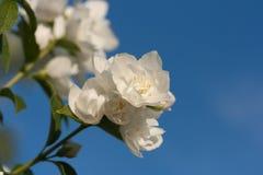Jasmine flowers. On a blue sky background royalty free stock photo