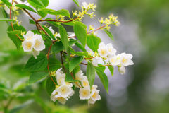 Jasmine flowers on a branch. With defocused background Royalty Free Stock Image