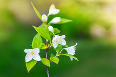 Jasmine flowers on the branch, macro photo Stock Photography