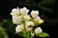 Jasmine Flowers branco no fundo verde Foto de Stock