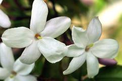 Jasmine flowers in close up stock photo