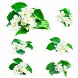 Jasmine Flowers Collection Stock Image