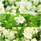 Jasmine flowers collection Royalty Free Stock Images