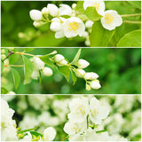 Jasmine flowers collection Stock Images