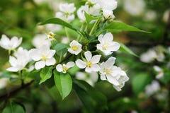 Jasmine Flowers In floreciente un jardín Imagen de archivo libre de regalías