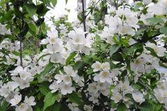 Jasmine Flowers fragrante fotografie stock libere da diritti