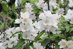 Jasmine Flowers fragrante immagine stock libera da diritti