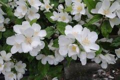 Jasmine Flowers fragrante immagini stock