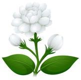 Jasmine flowers on green stem Stock Photo