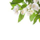 Jasmine flowers Stock Photos