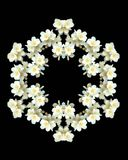Jasmine flowers kaleidoscope - isolated Royalty Free Stock Images