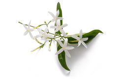 Jasmine. Flowers with leaf isolated on white stock photography