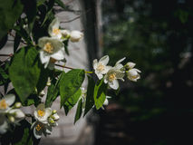 Jasmine flowers. Near the house on the branch in the garden Royalty Free Stock Photo