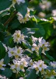 Jasmine flowers. an Old World shrub or climbing plant that bears Royalty Free Stock Photo
