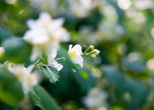 Jasmine flowers. an Old World shrub or climbing plant that bears Stock Photography