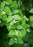 Jasmine flowers. an Old World shrub or climbing plant that bears Royalty Free Stock Images