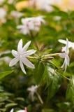 Jasmine flowers with pink buds close-up Stock Photos