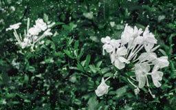 Jasmine Flowers and Plants Grunge Style Royalty Free Stock Photos