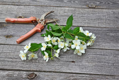 Jasmine flowers and secateurs on a  table Royalty Free Stock Images