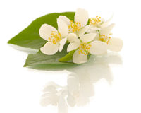 Jasmine flowers. Shallow DOF Royalty Free Stock Photos
