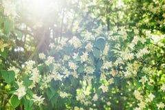 Jasmine. Flowers with sun Glare Royalty Free Stock Photo