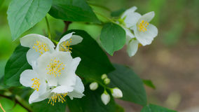 Jasmine flowers in Sunny weather. Royalty Free Stock Photography