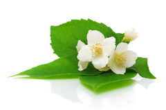Jasmine flowers on a white background close-up Royalty Free Stock Images