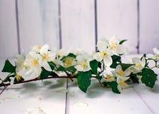 Jasmine flowers on a white background Royalty Free Stock Photos