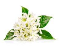 Jasmine flowers on white. Beautiful Jasmine flowers isolated on white background stock photo