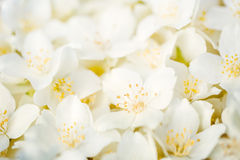 Jasmine flowers Royalty Free Stock Image