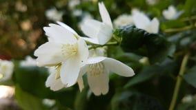 Jasmine flowers. White jasmine flowers among green leaves in spring Stock Photo