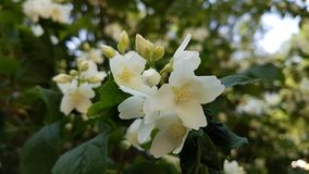 Jasmine flowers. White jasmine flowers among green leaves in spring Stock Photography