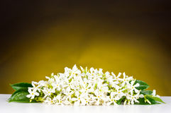 Jasmine flowers Royalty Free Stock Images