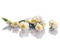 Jasmine flowers. White flowers of jasmine on the white Stock Photos