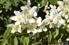 Jasmine flowers. White flowers, white flowering shrub, Jasminum, Jasmin royalty free stock images