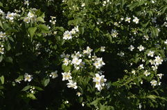 Jasmine flowers. White flowers, white flowering shrub, Jasminum, Jasmin Stock Photography