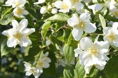 Jasmine flowers. White flowers, white flowering shrub, Jasminum, Jasmin royalty free stock image