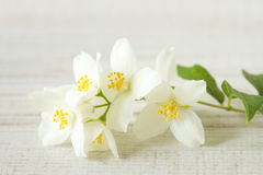 Jasmine flowers Royalty Free Stock Photo