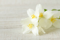 Jasmine flowers Stock Images