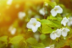 Jasmine flowers growing in garden with sun flare stock images