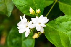 Jasmine isolate in spring summer after raining in the morning royalty free stock photo