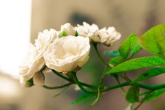 Jasmine isolate in spring summer after raining in the morning, t stock photo