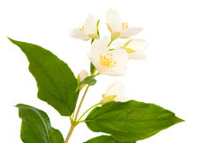 Jasmine isolated Royalty Free Stock Image