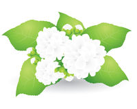 Jasmine Royalty Free Stock Images