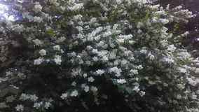 Jasmine (Jasminum) Blossoming in Central Park in Manhattan, New York, NY in June. Royalty Free Stock Photography